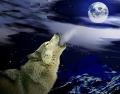 狼为什么爱在夜晚嚎叫