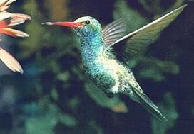 世界上最小的鸟——蜂鸟