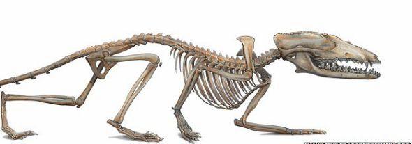 这种小动物身长只有几厘米,大小和一只鼩鼱差不多 它的前肢结构表明,它经常在树上攀爬,是攀援高  这种侏罗纪动物的牙齿具备真哺乳亚纲动物的所有牙齿特征 美国卡内基自然历史博物馆古生物学家近日对中国出土的一种大约1.6亿年前的动物化石进行深入研究后发现,这种像鼩鼱一样的动物可能是最早利用胎盘为未出生胎儿提供营养的动物。古生物学家认为,这一重大发现或将重新定义地球哺乳动物的历史,可能要重新思考地球哺乳动物的最早出现时间。 此次发现的化石可能属于大约1.
